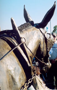 mule back of head